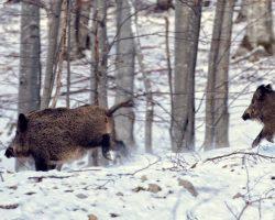 11_Pogon divjih prašičev na skupinskem lovu v LPN na Kočevskem