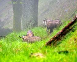 17_Trop gamsov, ki se v LPN Pohorje zadržuje pod gozno mejo