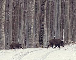 34_Divja prašiča na skupinskim lovom v obori v LPN na Kočevskem