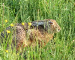 36_Poljski zajec, ki je otrpnil pri pregledu nižinskega dela lovišča LPN Ljubljanski vrh