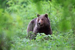 Medved na krmišču v LPN na Kočevskem, Marjan Artnak, vir www.slovenia.in...