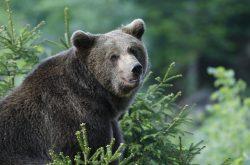 NEMCIJA,BAVARSKI GOZD, 29.04.2007, 29. APRIL 2007 Medved opazuje okolico v naravnem parku Bavarski gozd.Narava medved divja zival Foto:Srdjan Zivulovic/BOBO