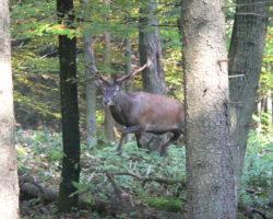 11_Trofejni jelen v LPN Ljubljanski vrh
