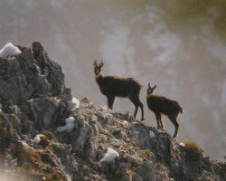 3_Gamsi na gorskih vrhovih v LPN kozorog Kamnik