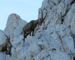7_Trop kozorogov v gorskem svetu LPN Kozorog Kamnik