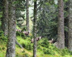 22_Trop gamsov v LPN Pohorje